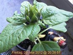 """""""Majestätisch"""" (sagt Frau H. aus D.) ragt die Webcam-Sonnenblume in den Himmel über Münster."""