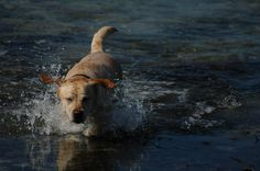 Labrador Finni Ich fliegeeee… ähm, ich meine, ich liebe Wasser ♥ Hundename: Finni / Rasse: Labrador      Mehr Fotos: https://magazin.dogs-2-love.com/foto/labrador-finni-3/ Foto, Hund, Sonne