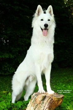 A white German Shepard ~BEAUTIFUL!