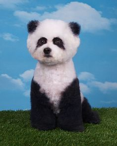 """""""At the very beginning of the show you will see a dog with what looks like a    mix of colour. By the end when the groomers have finished their work you    will see something crazy. This could be a bird, raccoon, owl, dinosaur or a    face of a frog or pig sculpted into the fur.""""      Panda poodle"""