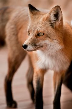 Red Fox | Natures Doorways