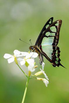 Mariposa Graphium Cloanthus