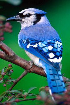 .... Blue Jay