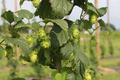 A brief lesson in hops cultivation from a horticultural specialist with The Ohio State University hops research program.