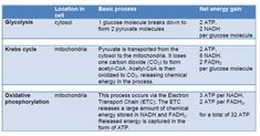 Glycolysis, Krebs Cycle, Oxidative phosphorylation