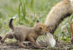 Bravery: One of the braver cubs bites off more than it can chew when it clamps its jaws around the tail of its father
