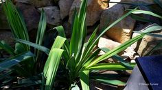 3 Strony Świata Yucca Filamentosa, Celery, Vegetables, Vegetable Recipes, Veggies