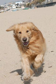 Golden Retriever having a wonderful day! Cute Puppies, Cute Dogs, Dogs And Puppies, Doggies, Chien Golden Retriever, Golden Retrievers, Beautiful Dogs, Animals Beautiful, Animals And Pets