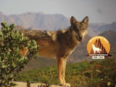 Mexican gray wolf (lobo) photo credit: California Wolf Center.