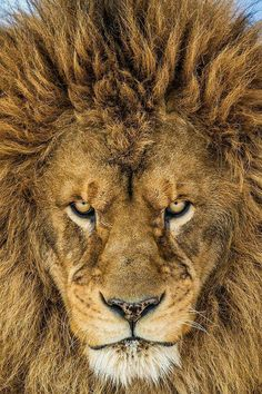 Trademark Global Mike Centioli 'Serious Lion' Canvas Art - 19 x 12 x 2 Beautiful Cats, Animals Beautiful, Animals And Pets, Cute Animals, Gato Grande, Lion Love, Desenho Tattoo, Lion Of Judah, Lion Art