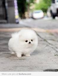 84 Best Micro Teacup Pomeranians Images Pets Cubs Cute Puppies