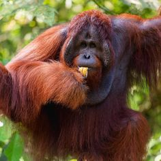 """Deviliciously Raw Travel Life on Instagram: """"What an excellent portrait of a wild orang utan 