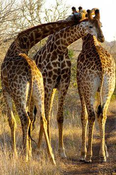 Giraffe Pictures, Animal Pictures, African Animals, African Safari, Beautiful Creatures, Animals Beautiful, Africa Nature, Baby Animals, Cute Animals