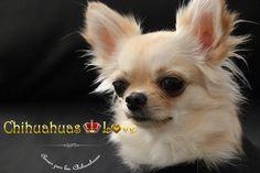 Chihuahuas Love - Ansiedad por Separación en Chihuahuas. Chihuahuas Mal Acostumbrados.