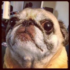 MWAH to this cutie pie senior pug xoxo