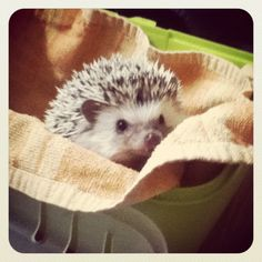 This was the last photo I took of my hedgehog Jip. I miss him, but he lives now with a family that has 8 other hedgehogs and they told me he finally has a girlfriend! And every day he is less shy and grumpy. Really happy for him, although I miss him.  You go, Jip!    (I took the photo right before I went on a three hour trip with him to his new family; they had great kids by the way, who immediately where in love with him and super enthusiastic about his arrival. He really deserves this)