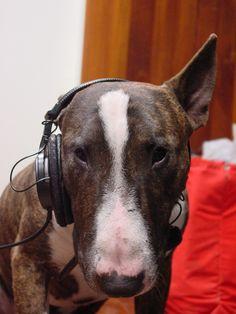 Sal #bullterrier #dogs