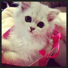Mme Preston aura une chatte. Elle sera petite. Elle sera très mignonne.