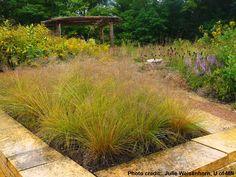 Prairie dropseed (Sporobolus heterolepis) used as a specimen landscape planting.
