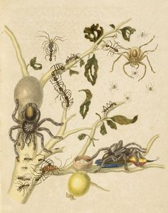 Branch of a Guava Tree with Leaf-cutter Ants, Army Ants, Pink-toed Tarantulas, Huntsman Spiders, and a Ruby-topaz Hummingbird  Maria Sibylla Merian  German, 1719  Hand-colored transfer print in The Insects of Suriname (plate 18)
