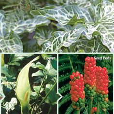 Arum italicum. I grow these in deep shade. They are completely hardy, and will bulk up in a few years and require dividing.