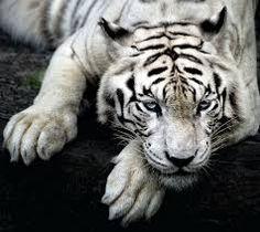 White tiger with beautiful blue eyes resting on a tree log wallpaper Tiger Wallpaper Iphone, Wild Animal Wallpaper, Snow Tiger, Pet Tiger, Tier Wallpaper, Mobile Wallpaper, White Wallpaper, Wallpaper Ideas, Panthera Tigris Tigris