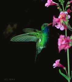 Humming Bird - hummingbirds Photo