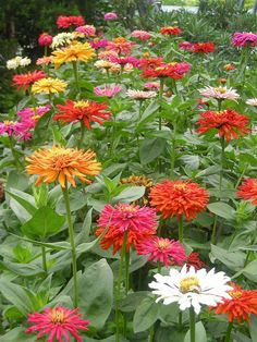 I grow colorful zinnias each year a huge garden of them.to honor Oprah and all her teachings.over 25 years. Flower Garden, Pretty Flowers, Flower Farm, Beautiful Flowers, Perennials, Love Flowers, Trees To Plant, Zinnias, Beautiful Gardens