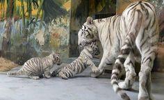 http://www.vocerealmentesabia.com/2013/02/raros-filhotes-de-tigre-sao.html