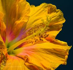 Hibiscus by olafholland