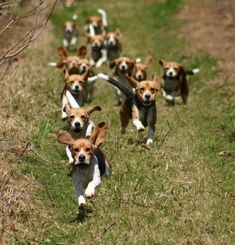 Running Beagles