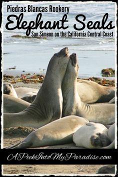 Elephant Seals: San