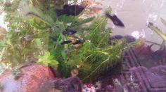 Blackmolly vissen