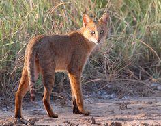 Small Wild Cats, Big Cats, Wild Cat Species, Wildlife Of India, Amur Leopard, Spotted Cat, Jungle Cat, Interesting Animals, Warrior Cats