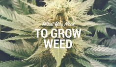 So you want to grow some good weed indoors but you don't know what you need in order to get started? Knowing what you need to grow weed can be confusing and difficult for first time growers, but this simple guide will sum it all up for you quickly and easily.  Read the entire article: https://indoorgrowguru.com/what-you-need-to-grow-weed/