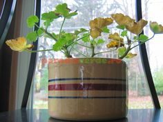 Cum se face altoirea cu ramură detașată, sub scoarța terminală Plantar, Paradis, Planting Flowers, Beautiful Flowers, Salvia, Planter Pots, Home And Garden, Dessert Boxes, Spin
