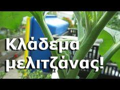 Κλάδεμα μελιτζάνας! - YouTube Permaculture, Agriculture, Vegetables, Nature, Youtube, Plants, Onion, Gardening, Naturaleza