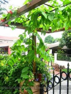 Rangoon Creeper (Quisqualis indica) Growing in an Arch or Arbor - Part 2 ~ Practical Gardening