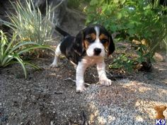 one day I hope Santa puts a pocket beagle in my stocking or under the tree :D