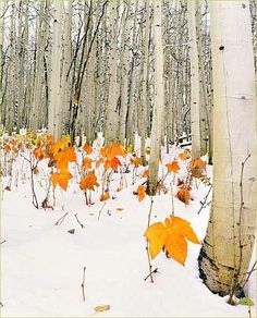 Aspens, Littleton, Colorado -- by Frank Weston, winner 2004 National Wildlife photo contest