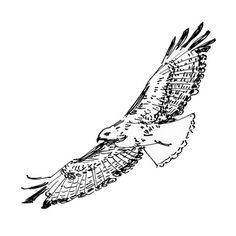 hawk in flight ink drawing by waitsel smith contact me to purchase this or