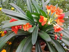 Clivia Miniata, with last years seeds. Seeds, Flowers, Royal Icing Flowers, Flower, Florals, Floral, Blossoms
