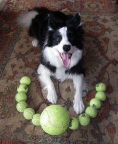 Border Collie with favourite tennis balls
