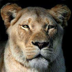 ~~Watching Me Watching You ~ Lioness by Lance Leopold~~