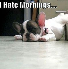 Bulldog hate mornings...
