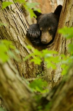 A black bear cub snoozes in a tree in the Great Smoky Mountains National Park
