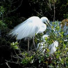 White Heron Waitangi Roto Nature Reserve near Whataroa on New Zealand's west coast is the only breeding location of the rare white heron (Kotuku) in New Zealand. Their plumage becomes lace-like in the breeding season. They nest high in trees.Otherwise they are water birds.