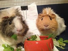 guineas munching their dinner. looks healthy! :)