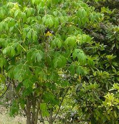 Bababuy (Pheucticus aureoventris) en  una Dalia (Dahlia imperialis Roezl ex Ortgies).