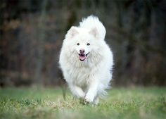 Finnish Lapphund Dog Breed Information, Pictures, Characteristics & Facts - Dogtime Dog Breeds Pictures, Dog Pictures, Healthiest Dog Breeds, Samoyed Dogs, Giant Dogs, Alaskan Malamute, Pet Health, Best Dogs, Puppies